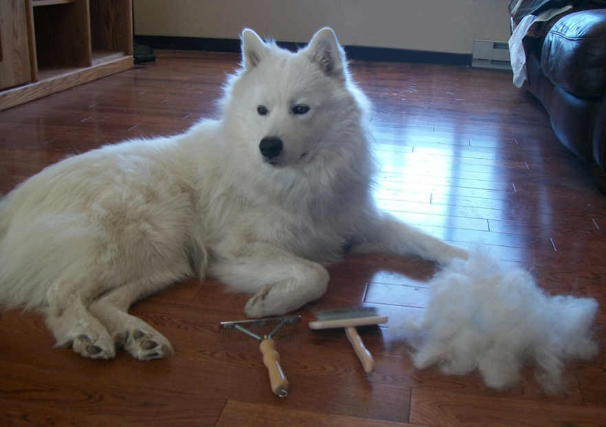 Related Keywords Amp Suggestions For Shaved Samoyed