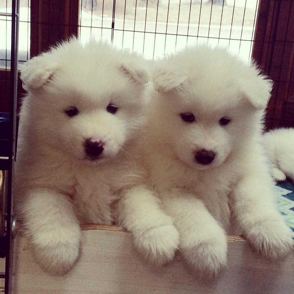 Icecrown Samoyed Puppies