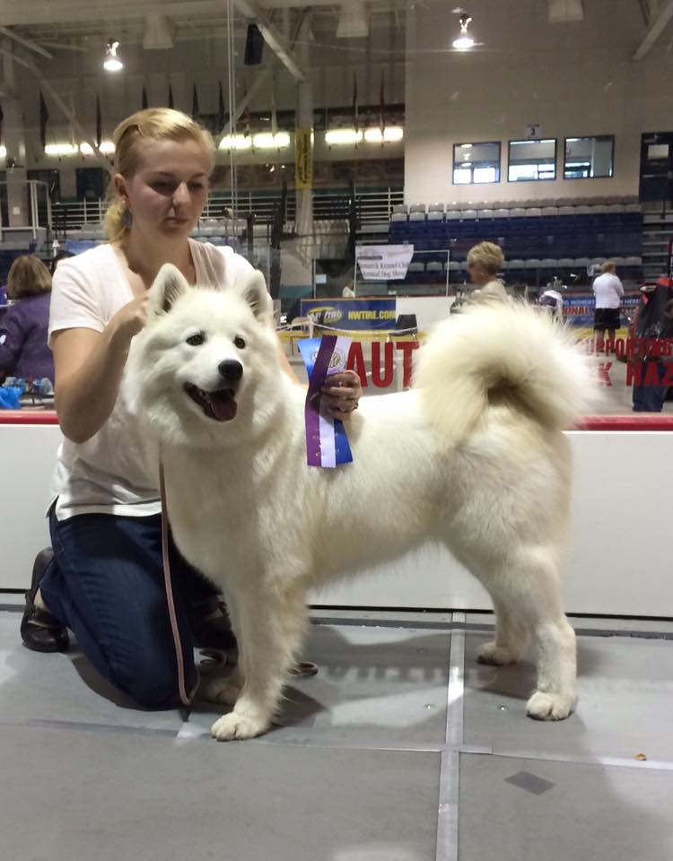 AKC Samoyed winner