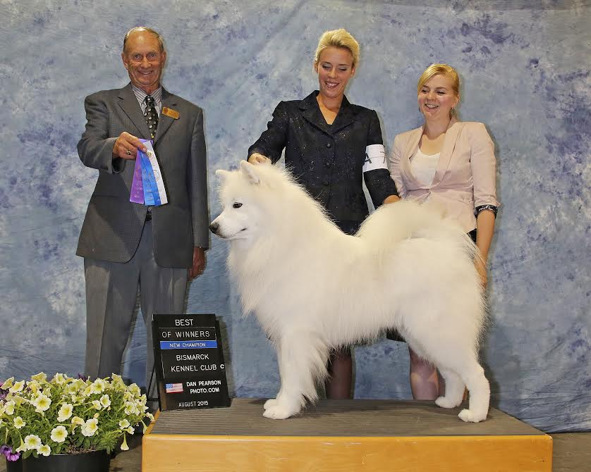 New AKC Champion Samoyed